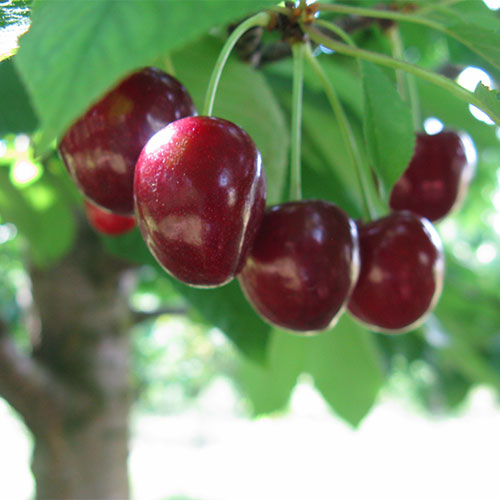 Pick your own Michigan Sweet and Tart Cherries at Moelker