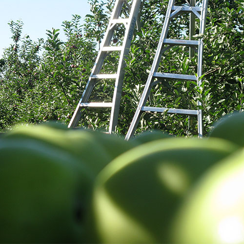 Pic-Your-Own farm fresh apples at Moelker Orchards in Grand Rapids, Michigan